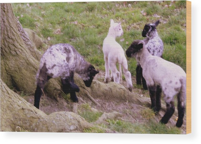 Sheep Wood Print featuring the photograph Joys Of Heaven by Mindy Newman