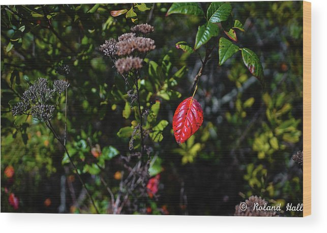 Red Wood Print featuring the photograph Lonely Red Leaf by Roland Hall