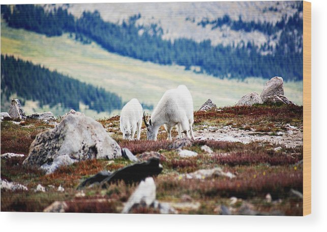 Animal Wood Print featuring the photograph Mountain Goats 2 by Marilyn Hunt