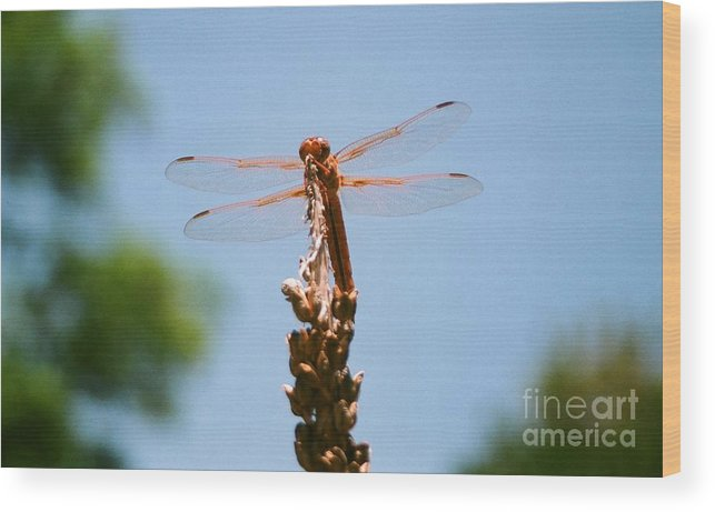 Dragonfly Wood Print featuring the photograph Red Dragonfly by Dean Triolo