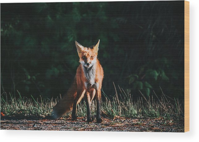Fox Wood Print featuring the photograph The Fox by Victor Aerden