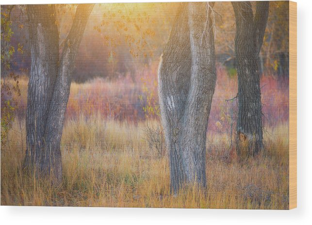 Sunlight Wood Print featuring the photograph Tree Trunks In The Sunset Light by Darren White