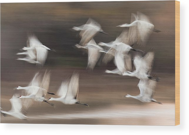 Abundance Wood Print featuring the photograph Motion Blur, Flock Of Sandhill Cranes by Adam Jones