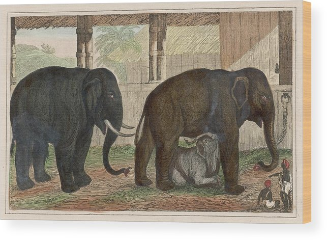 Elephant Wood Print featuring the drawing A Family Of Indian Elephants by Mary Evans Picture Library