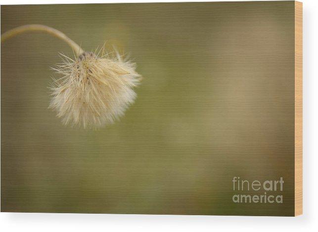 Soft Bent Grass Wood Print featuring the photograph Autumnal Dandelion Fluff by Jolanta Meskauskiene