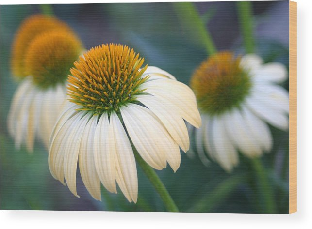 Coneflowers Wood Print featuring the photograph Beautiful Coneflowers by Carolyn Fletcher