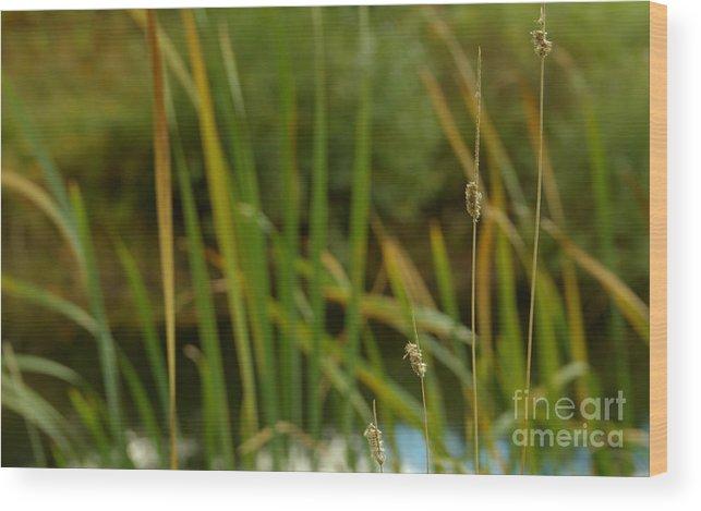 Bent Grass Variation In Nature Wood Print featuring the photograph Bent Grass Variation In Nature by Jolanta Meskauskiene
