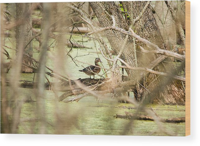 Duck Wood Print featuring the photograph Blending In by Rosemary Legge