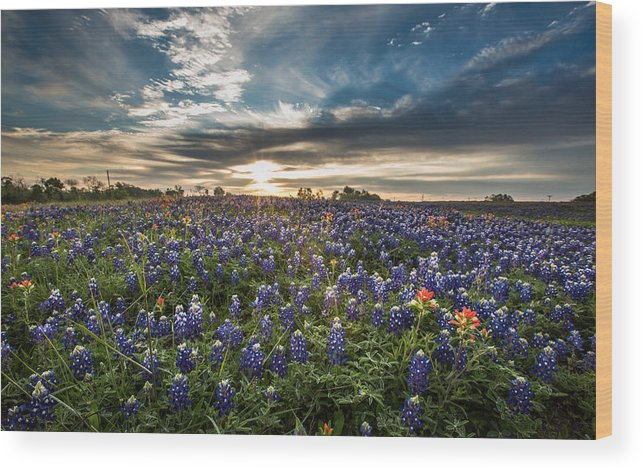 Bluebonnets Wood Print featuring the photograph Bluebonnet Heaven by Chris Multop
