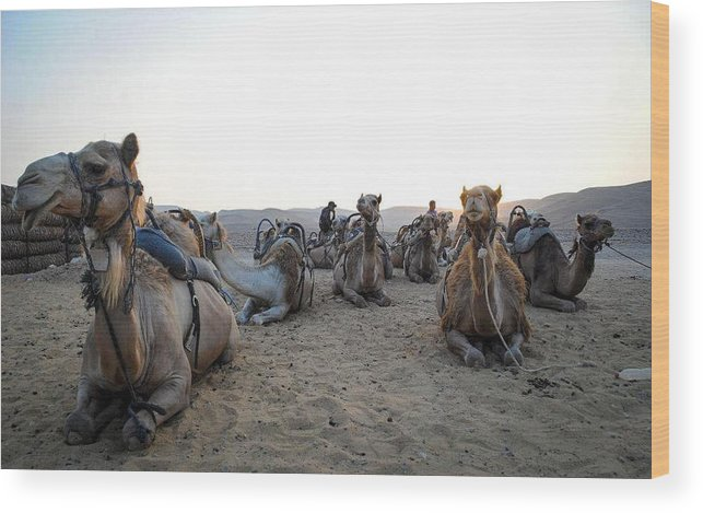 Africa Wood Print featuring the photograph Camels by Jordan Kaplan
