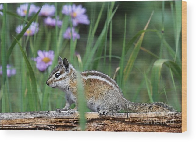 Chipmunk Wood Print featuring the photograph Chippy by Marty Fancy