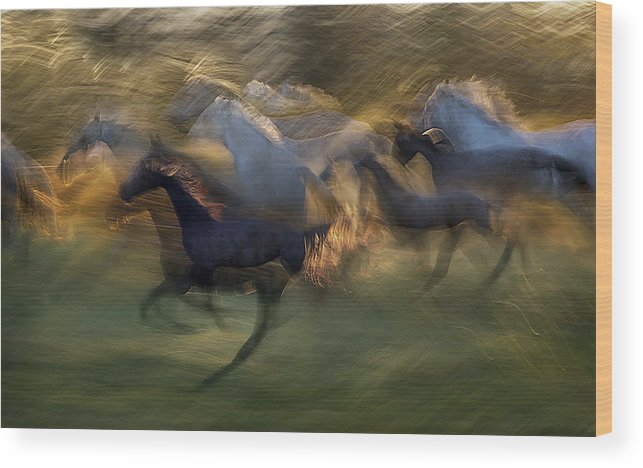 Lipicanci Wood Print featuring the photograph Fiery Gallop by Milan Malovrh