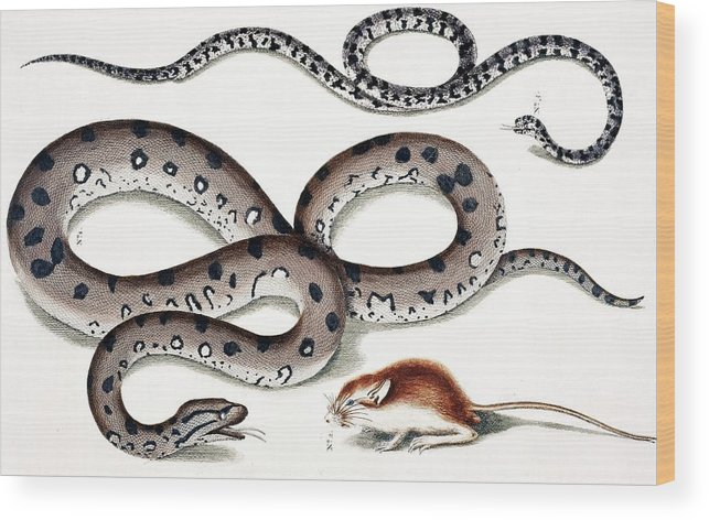 Locupletissimi Rerum Naturalium Thesauri Accurata Description Wood Print featuring the photograph Snakes And Prey by Natural History Museum, London/science Photo Library