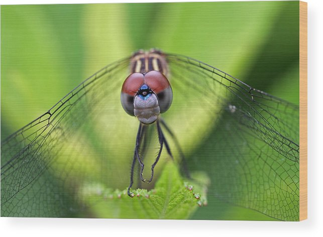 Dragonfly Wood Print featuring the photograph Staring Contest by Juergen Roth
