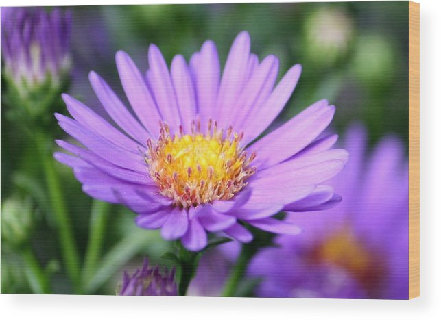 Purple Wood Print featuring the photograph flower of September by Annie Babineau