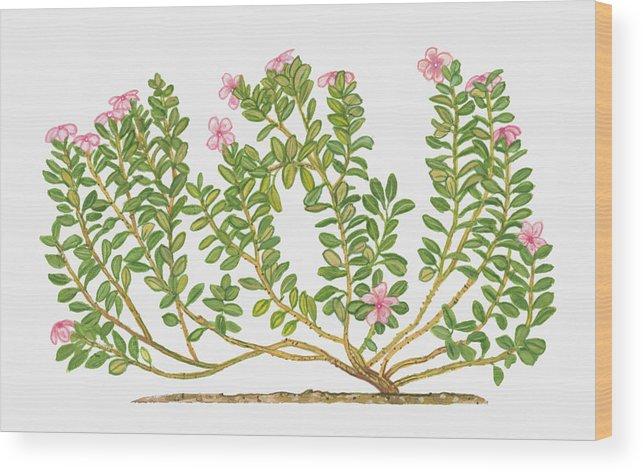 Illustration of catharanthus roseus madagascar periwinkle bearing horizontal wood print featuring the digital art illustration of catharanthus roseus madagascar periwinkle bearing mightylinksfo