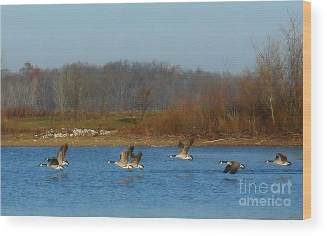 Geese Wood Print featuring the photograph Lift Off by Susan Olga Linville