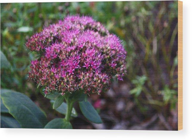 Purple Wood Print featuring the photograph Neon Sedum by Annie Babineau