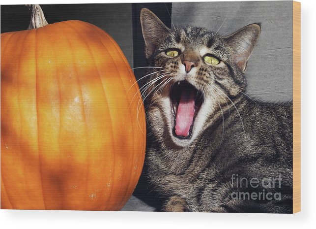 Pumpkin Wood Print featuring the photograph Yawning Vineyard Cat by Susan Isakson