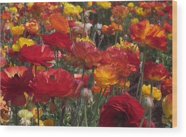 Ranunculus Wood Print featuring the photograph California Riches by Jean Booth