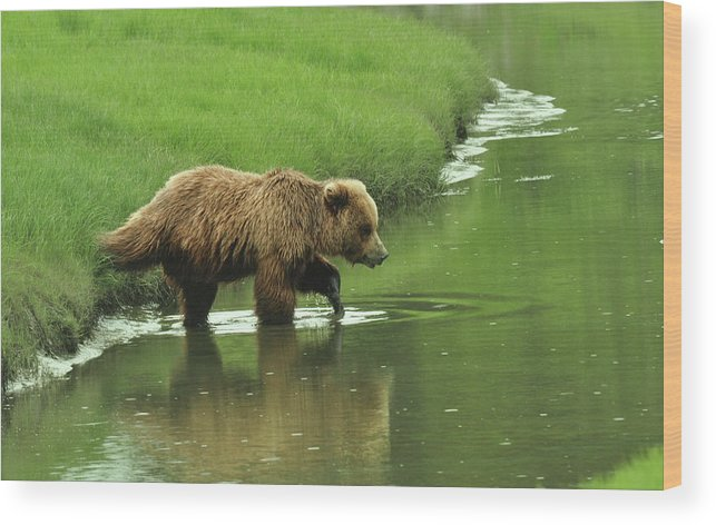 Grizzly Bears Wood Print featuring the photograph Crossing The Bar by Dennis Blum