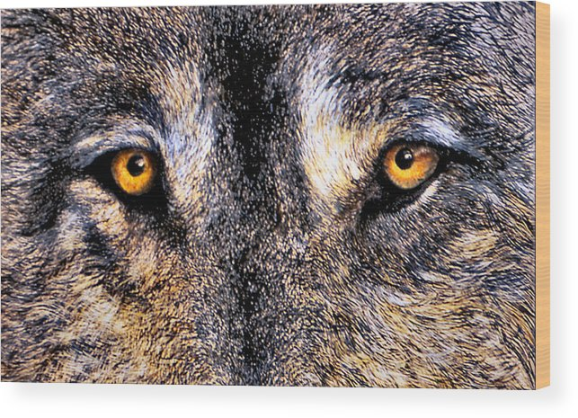 Wolf Eyes Wood Print featuring the print Just Watching Wolf by JoLyn Holladay