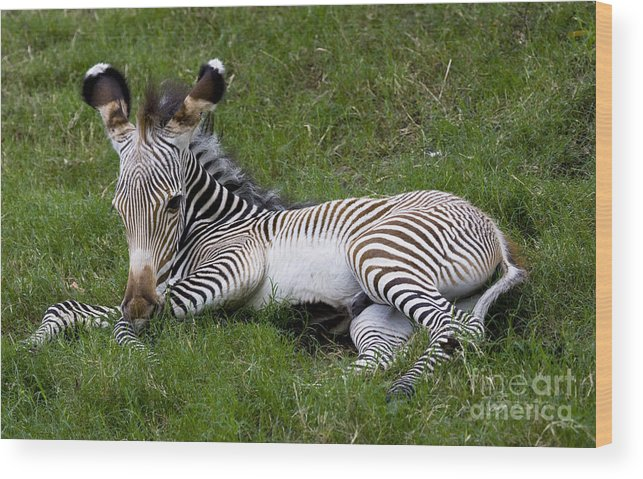 Zebra Wood Print featuring the photograph Baby Black And White Beauty by Ruth Jolly