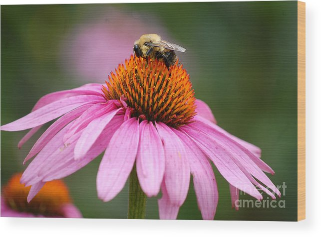 Cone Flower Wood Print featuring the digital art Bee Resting On Cone Flower by Glenn Morimoto