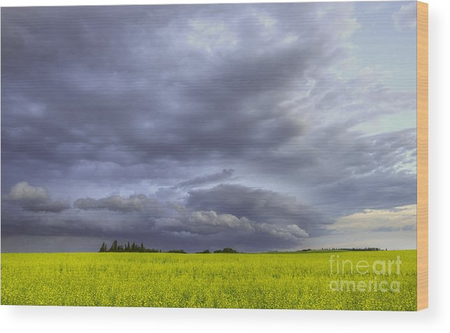 Canola Wood Print featuring the photograph Canola And Storm by Dan Jurak