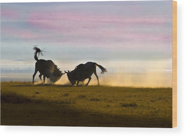 Ngorongoro Crater Wood Print featuring the photograph Fighting Wildebeest Ngorongoro Crater Tanzania by Boyd Norton