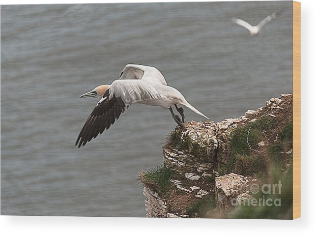 Gannet Wood Print featuring the photograph Gannet Take Off by David Hollingworth