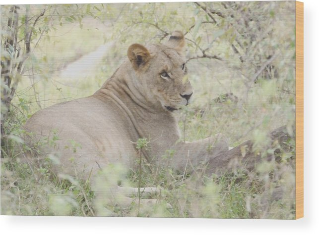 Repose Wood Print featuring the photograph Lioness Relaxing by Tom Wurl