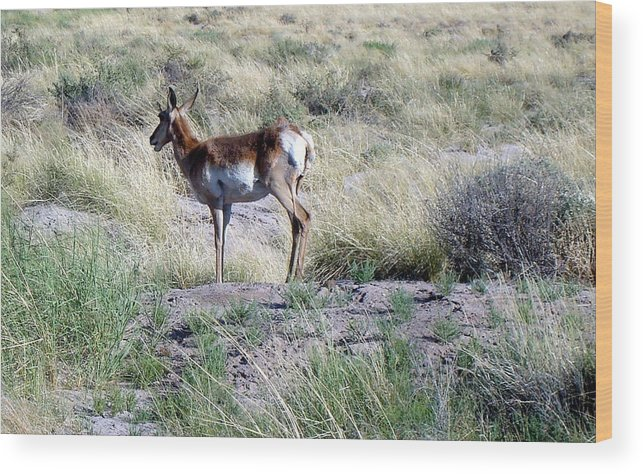 Pronghorn Wood Print featuring the photograph Lone Pronghorn by Susan Woodward