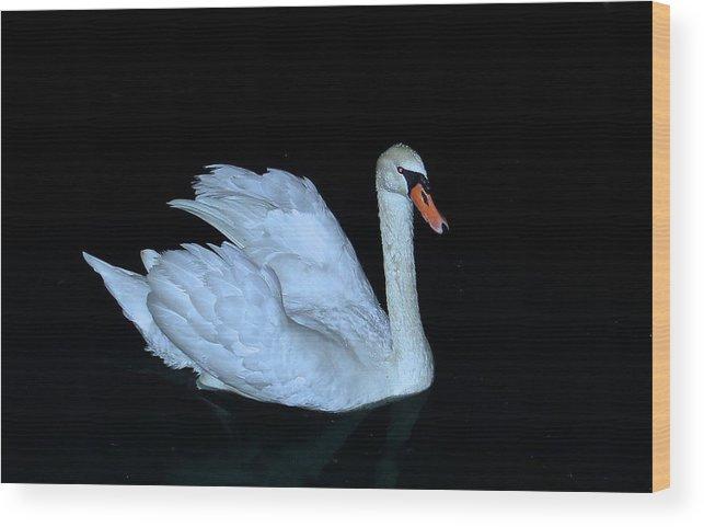 Swan Wood Print featuring the photograph Nighttime Swim by Rita Mueller