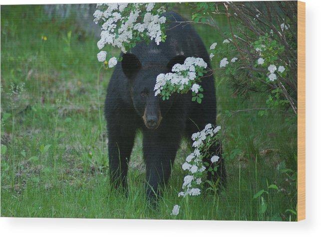 Bear Wood Print featuring the photograph Peek-a-boo by Brenda Jacobs