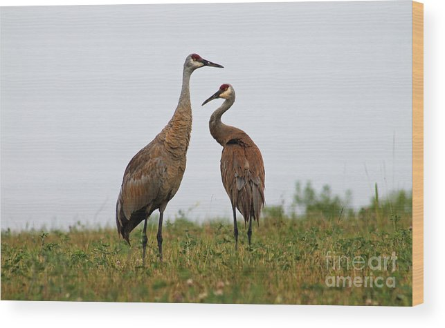 Sand Hill Crane Wood Print featuring the photograph Sandhills by Eric Curtin