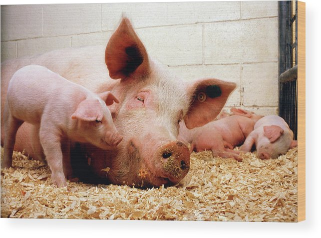 Sus Sp. Wood Print featuring the photograph Sow And Piglets by Keith Weller/us Department Of Agriculture/science Photo Library