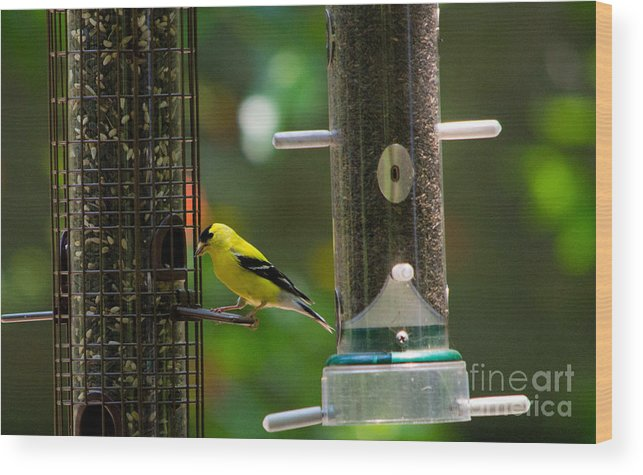 Scott Wood Print featuring the photograph American Goldfinch by Scott Hervieux