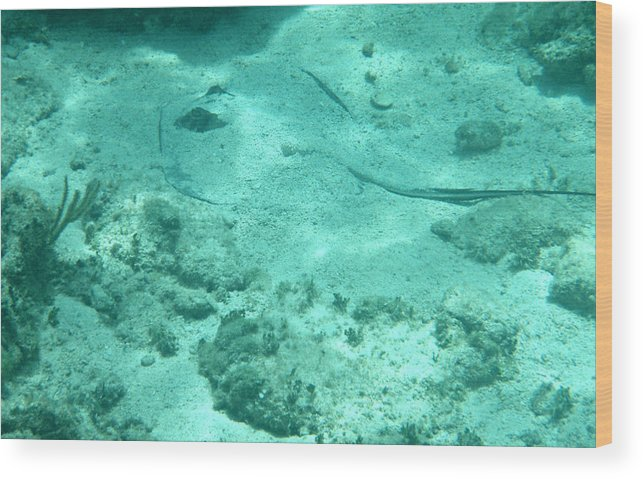 Stingray Wood Print featuring the photograph Do You See What I See? by Kimberly Perry