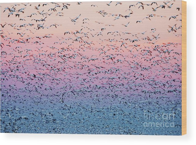 Birds Wood Print featuring the photograph Snow Geese Liftoff by Susan Isakson