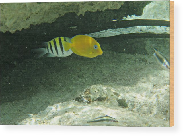 Yellow Tang Wood Print featuring the photograph Swimming Around by Kimberly Perry