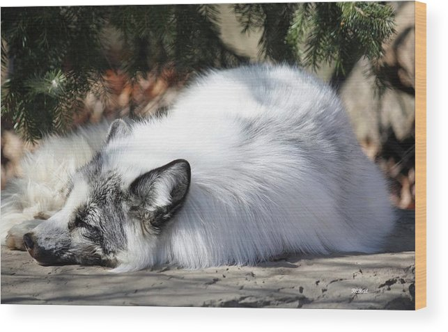 Maryland Wood Print featuring the photograph Arctic Fox by Ronald Reid