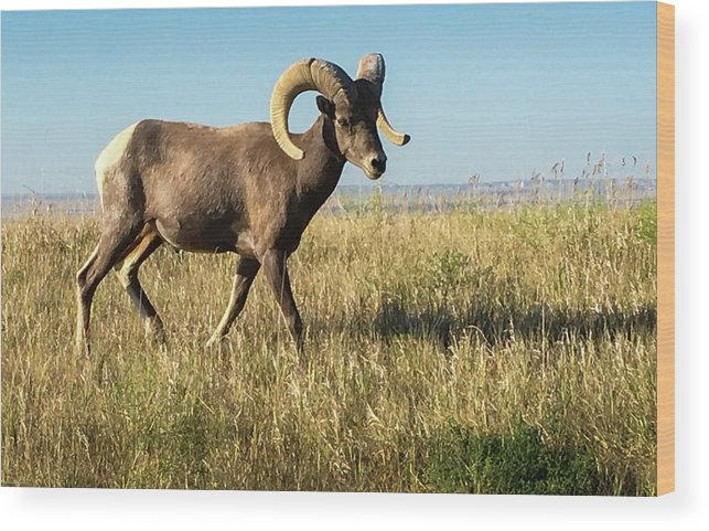 National Parks Wood Print featuring the photograph Badlands Ram by Aaron Geraud