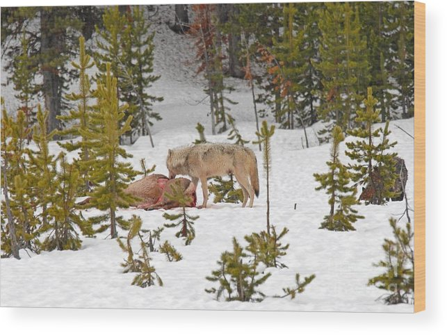 Wolf Wood Print featuring the photograph Canyon Wolf On Elk Kill by Dennis Hammer