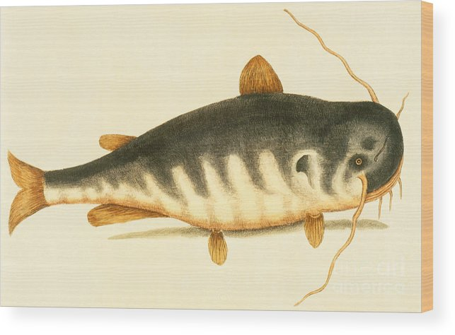 Catfish Wood Print featuring the painting Catfish by Mark Catesby