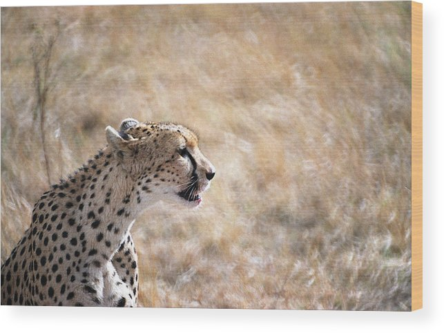 Cheetah Wood Print featuring the photograph Cheetah by Marcus Best