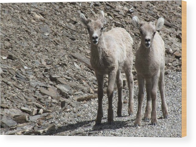 Baby Wood Print featuring the photograph Couple Of Cuties- Baby Bighorn by Tiffany Vest