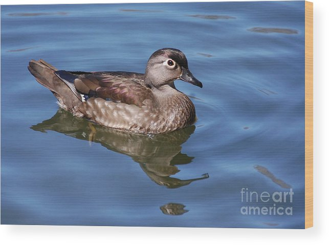 Duck Wood Print featuring the photograph Female Wood Duck by Elaine Manley