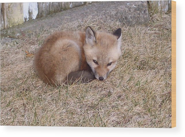 Fox Wood Print featuring the photograph I'll Wait Here For Mom by Maureen Beaudet