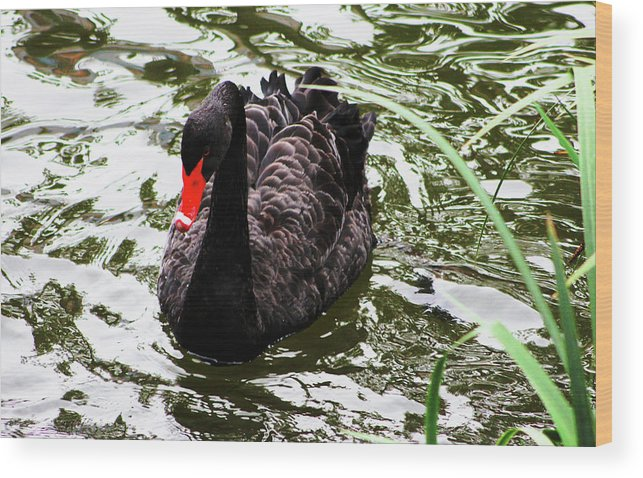Black Swan Wood Print featuring the photograph Its Good To Be Different. by Donald C Leight Jr